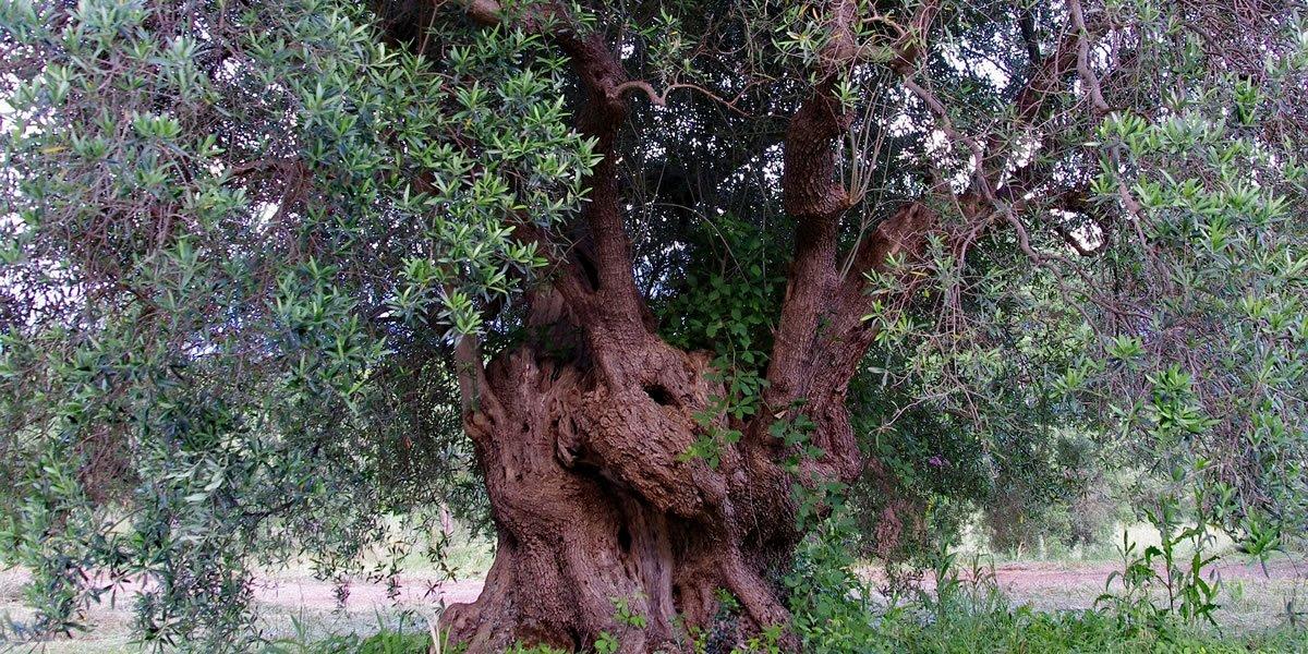 Paket Tausendjährige Olivenbäume